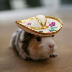 guinea-pig-sombrero